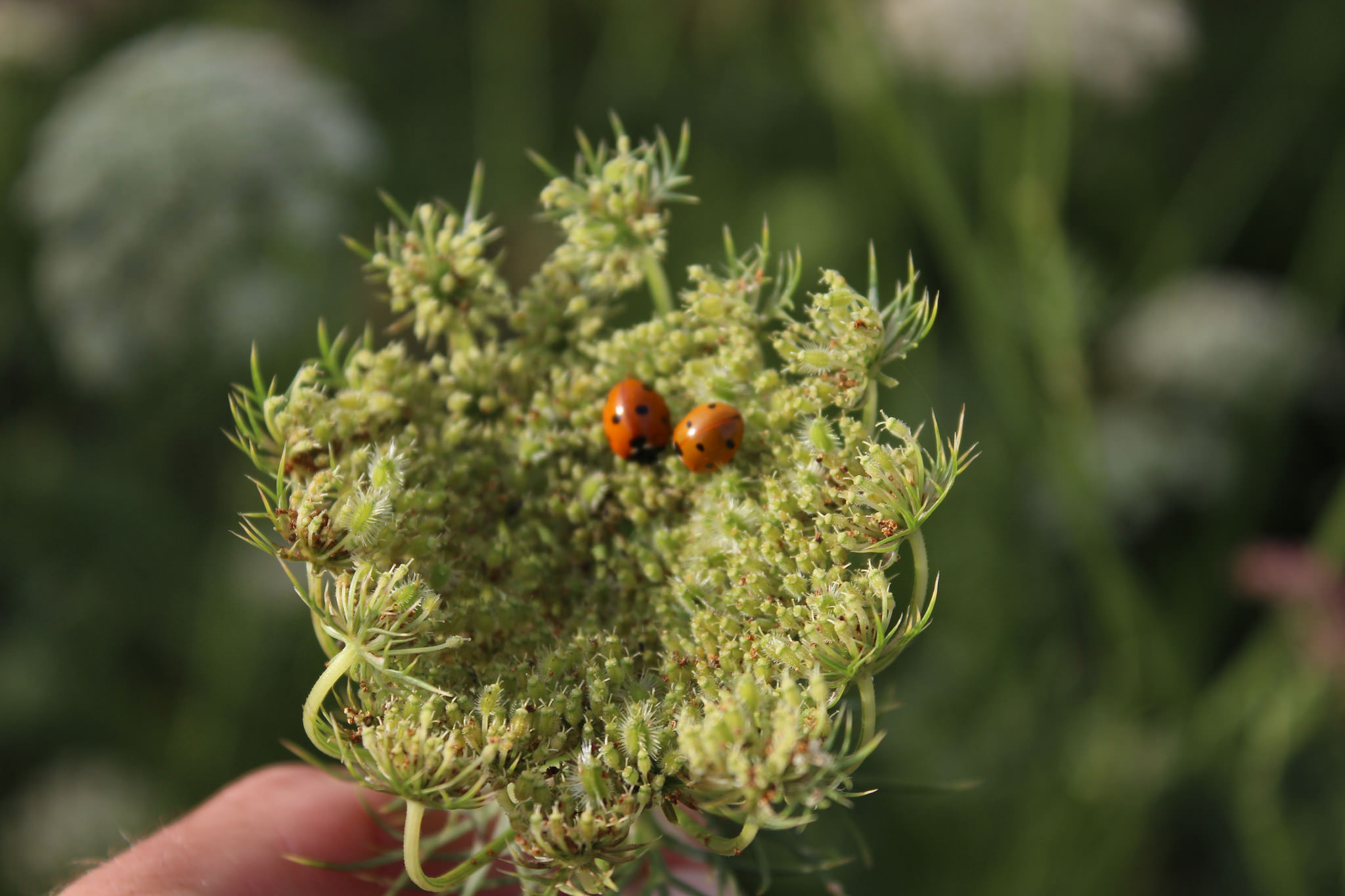 carrot umbel with ladybugs