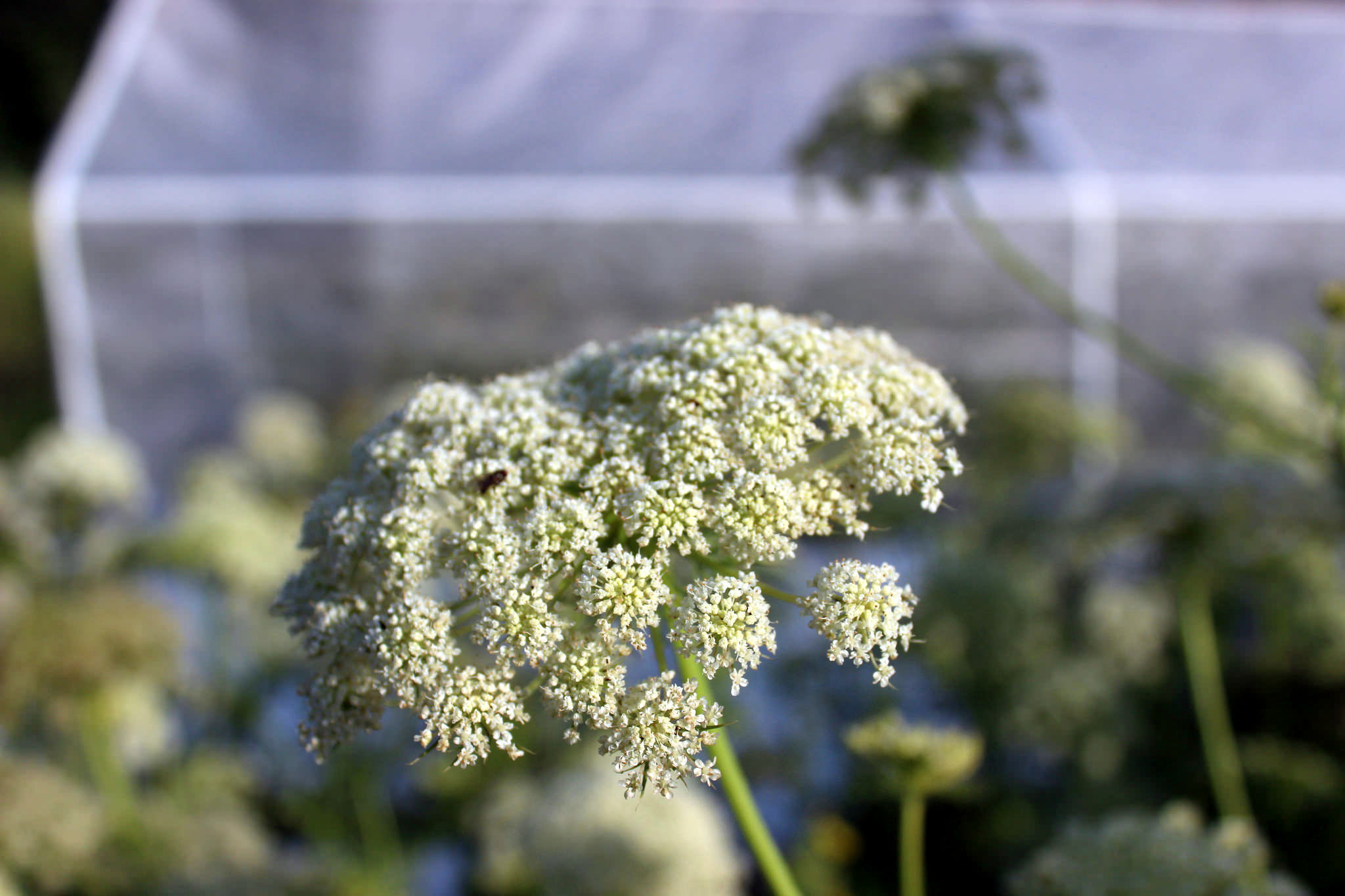 carrot umbel