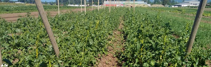 Golden Beets Growing well