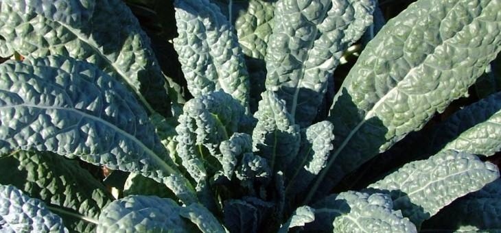 BC Seed Trials Crop #2 – Lacinato Kale!